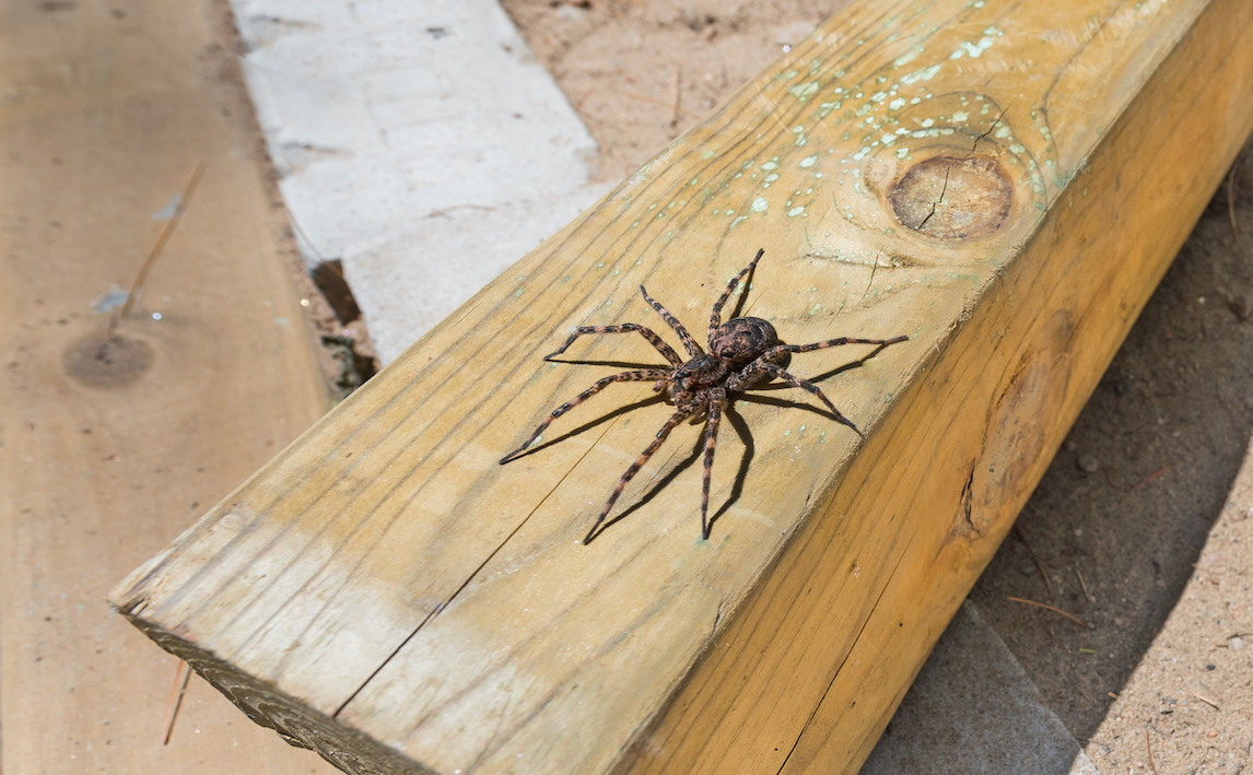 10 Facts On Your Friend The Dock Spider Faces Magazine